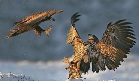 adler fight